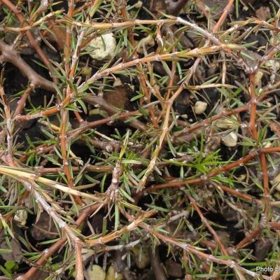 Coprosma acerosa  Red Rock -003