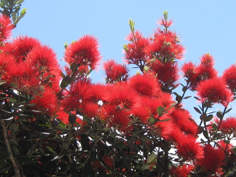 New Zealand Christmas Tree.Metrosideros Excelsa Tawapou