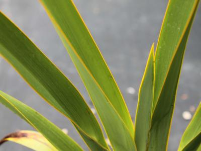 phormium-tenax-three-kings1