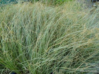 Carex comans Green-003