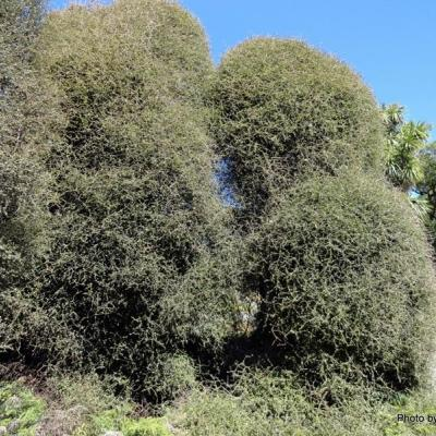 Pittosporum obcordatum-002